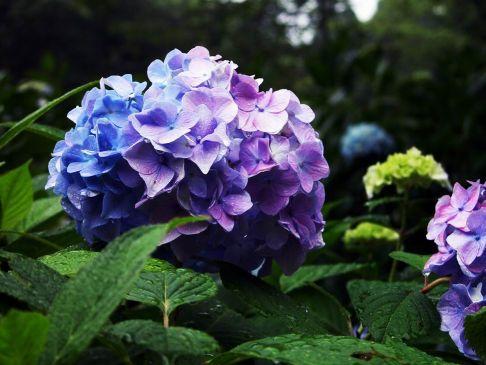 紫陽花 毒 種類