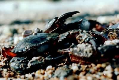是海栖用鳃呼吸的节肢动物